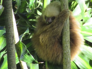 Baby two-toed sloth Jennifer and her family have been watching grow up.